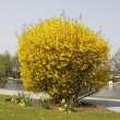 Forsythia intermedia in spring in the spa park of Bad Laer, Germamy — Stock Photo