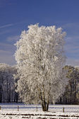 Birch in a field in winter, Bad Laer, Lower Saxony, Germamy — Stock Photo