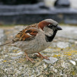 Stock Photo: House Sparrow (male) Passer domesticus