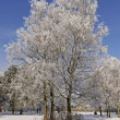 Birches on a field in winter, Bad Laer, Osnabruecker land, Germany — Stock Photo #8769339