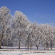 Birches on a field in winter, Bad Laer, Osnabruecker land, Germany — Stock Photo
