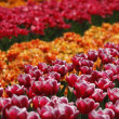 Tulipa Debutante, Triumph tulip on the right side in the Netherlands, Europ — Stock Photo