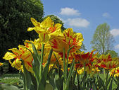 Tulipa Monsella, Double early tulip — Foto Stock