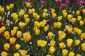 チューリップ イエロー並べ替え飛行春、オランダ、ヨーロッパで — ストック写真