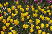 Tulip sort Yellow Flight in spring, Netherlands, Europe — Stok fotoğraf