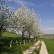 Footpath with cherry trees in Hagen, Lower Saxony, Germany — Stock Photo #8847732