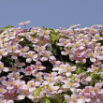 Clematis montana, Clematis Hybrid — Stock Photo #8848785