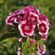 Stock Photo: Sweet William, Dianthus barbartus