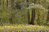árvore florescendo com daffodills na primavera, países baixos — Foto Stock
