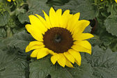 Helianthus annuus, Sunflower — Stock Photo