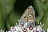 Polyommatus butterfly sitting on a elder blossom in Italy — Stock Photo