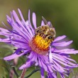 Honey bee (Apis mellifica) on New England Aster, Germany — Stock Photo