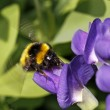 Blue false indigo, Blue wild indigo, Baptisia australis - Stock Photo