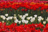 White tulips on a tulip bed in the Netherlands, Europe — Stock Photo