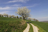 Footpath with cherry trees in Hagen, Lower Saxony, Germany, Europe — Stock Photo
