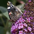 Red Admiral butterfly (Vanessa atalanta) on Buddleja davidii — Stock Photo