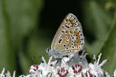 Polyommatus butterfly sitting on a elder blossom in Italy, Europe — Stock Photo