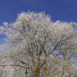 Stock Photo: Tree with hoarfrost in winter, Germany