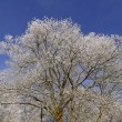 Tree with hoarfrost in winter, Germany — Stock Photo