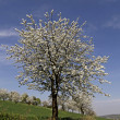 Cherry tree in spring, Hagen, Lower Saxony, Germany, Europe - Foto Stock