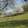 Spring landscape with cherry trees and deer in Hagen, Lower Saxony, Germany - Zdjęcie stockowe