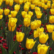 Tulipa Yellow Flight, Triumph tulip in spring, Netherlands, Europe — Stock Photo
