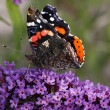 Red Admiral butterfly (Vanessa atalanta) on Buddleja davidii, Summer lilac - Zdjęcie stockowe