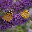 Painted Lady butterfly on Buddleja davidii, Purple Emperor, Pyrkeep - Zdjęcie stockowe