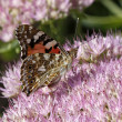 Painted Lady butterfly (Cynthia cardui, Vanessa cardui) — Stock Photo #8927650