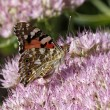 Stock Photo: Painted Lady butterfly (Cynthicardui, Vanesscardui)