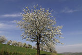 Cherry tree in spring, Hagen, Lower Saxony, Germany, Europe — Stock Photo