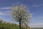 Cherry tree in spring, Hagen, Lower Saxony, Germany, Europe — Stock Photo