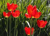 červené tulipány v evropě na jaře, nizozemsko — Stock fotografie