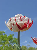 Tulipa Carnaval de Nice - Double Late Tulip — Stock Photo