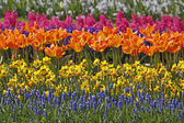 Tulips and daffodils in spring - Park in the Netherlands, Europe — Stock Photo