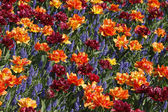 Tulip mix with hyacinths in spring, Netherlands, Europe — Stock Photo