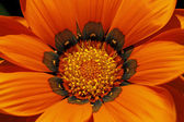 Gazania hybride, détail de fleur de l'été en Allemagne — Photo