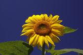 Slunečnice s modrou oblohu, helianthus annuus — Stock fotografie