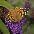Painted Lady butterfly (Vanessa cardui) on Buddleja davidii - Stock Photo