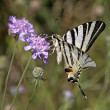 Scarce Swallowtail (Iphiclides podalirius) sitting on Scabious flower — Stock Photo #8949123