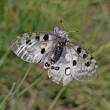Mountain Apollo butterfly )Parnassius apollo) at the Monte Baldo - Stock Photo
