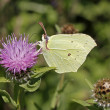 Common Brimstone (Gonepteryx rhamni) on a Knapweed in Germany, Europe — Стоковая фотография