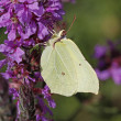 Stock Photo: Common Brimstone (Gonepteryx rhamni) on (Lythrum salicaria)