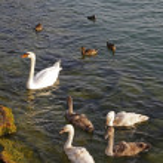 Mute swan (Cygnus olor) with young birds, Lake Garda, Italy, Europe — Stock Photo #8949355
