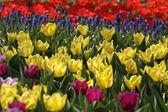 желтые тюльпаны в европе весной, нидерланды — Стоковое фото