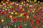 Tulip field in Lower Saxony, Germany, Europe — Stock Photo