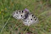 Mountain Apollo butterfly )Parnassius apollo) at the Monte Baldo — Foto Stock
