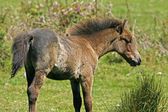 Young brown horse in Cornwall, Southwest England, UK, Europe — Stock Photo