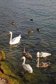 Mute swan (Cygnus olor) with young birds, Lake Garda, Italy, Europe — Stock Photo