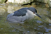Nycticorax nycticorax - Night Heron takes a bath in a pond in Germany — Stock Photo